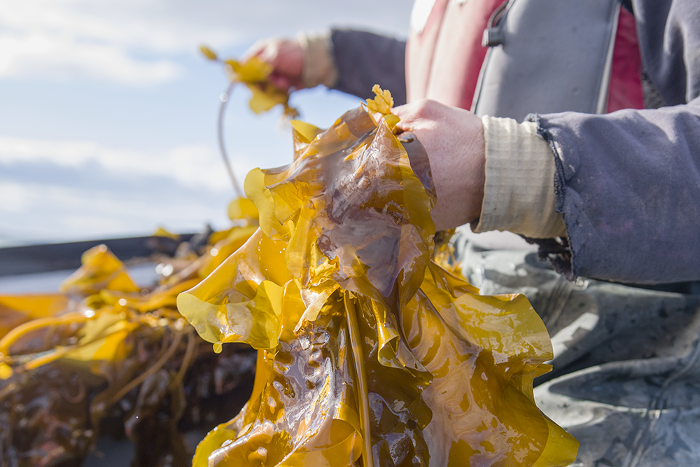 Researcher holding kelp.